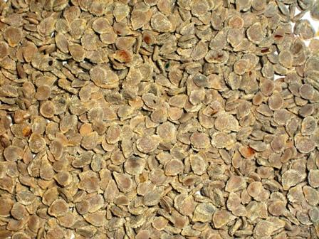 Semillas Chilenas de hortalizas aumentan presencia en India