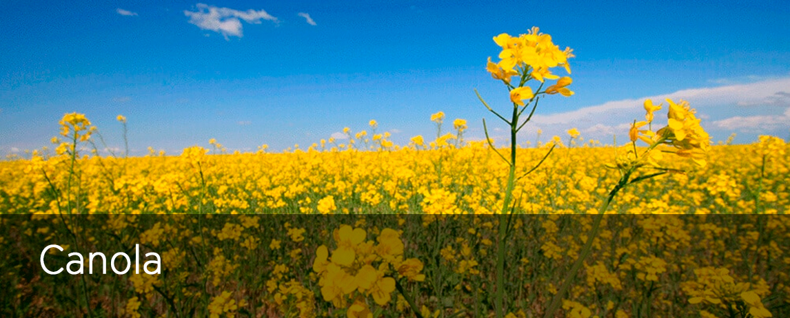 CANOLA COMMITTEE