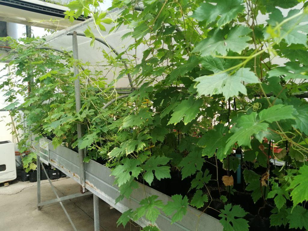 Investigadores desarrollan uvas no transgénicas que son resistentes a enfermedades fungosas