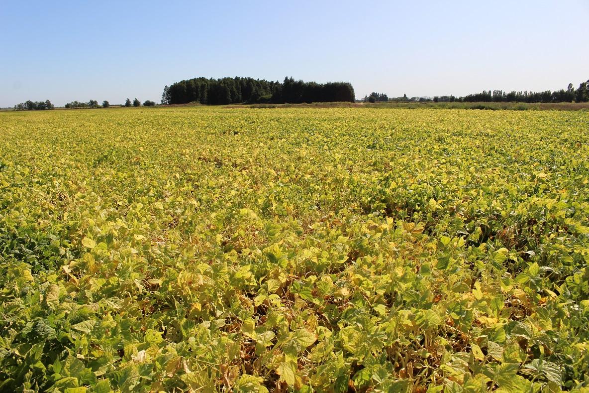 Falta de riego afecta cultivos de poroto en zona centro sur