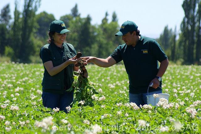 Productores de semilla de papa corriente deberán adelantar inscripción de sus semilleros