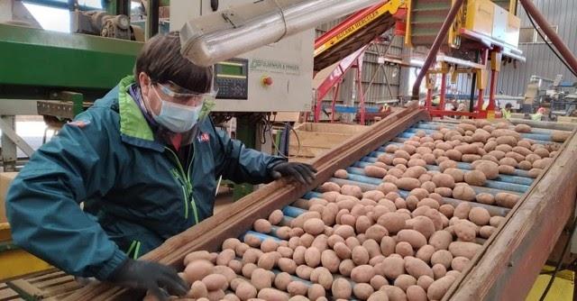 Se inició exportación de semilla de papa Asterix: 25 mil kilos desde Frutillar a Brasil