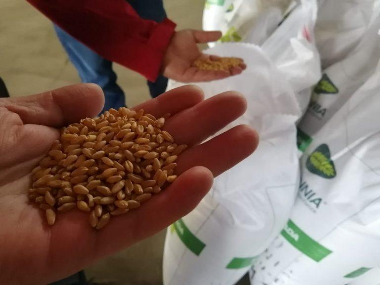 Beneficio Social de la investigación en trigo candeal de INIA ascendió sobre los $13.000 millones